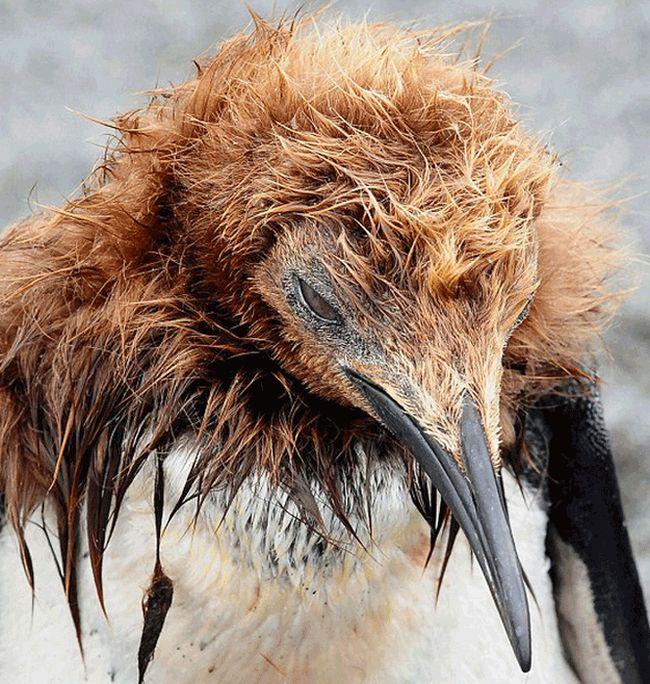 La pubertad del pingüino 2