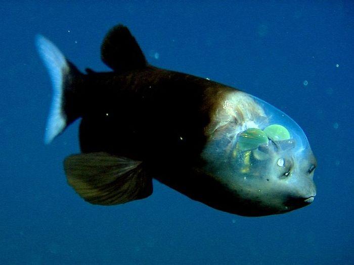 Рыбка с прозрачной головой (5 фото)