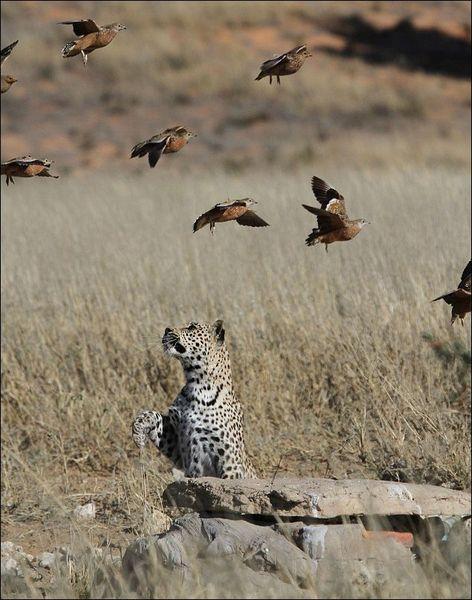 Южноафриканский леопард ловит рябков (6 фото)
