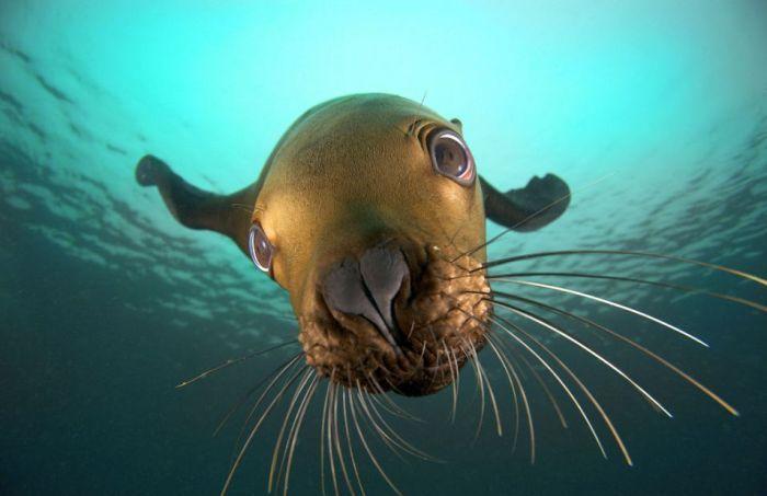 Морской лев играет со своим отражением в объективе (7 фото)
