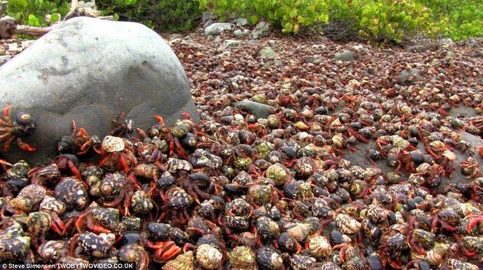 Тысячи крабов - отшельников на острове Сент-Джон (15 фото)