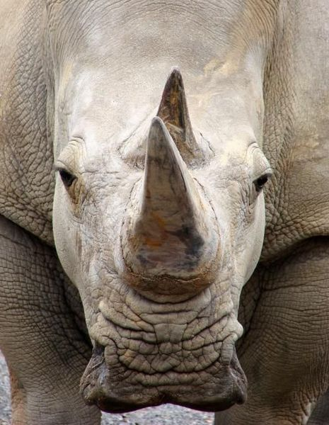 Носорог. Интересные факты об удивительном животном (10 фото)