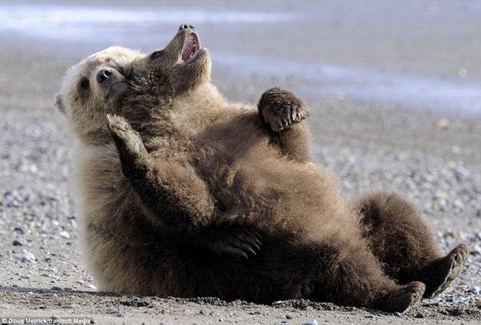 Учимся отдыхать, как медведи (12 фото)