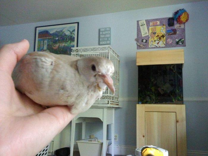 Как растут голуби (32 фото)