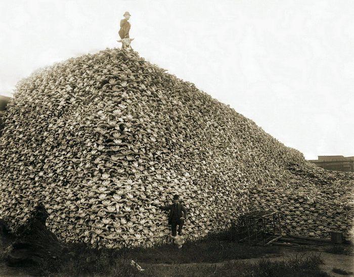 Уничтожение бизонов в США (10 фото)