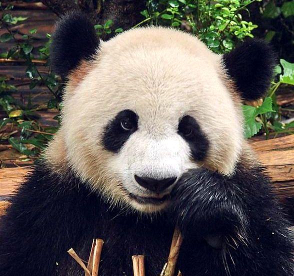 А поехали в гости к пандам (Чэнду, провинция Сычуань) (33 фото)