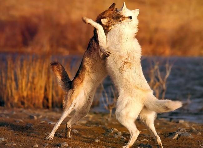 Волки (43 фото)