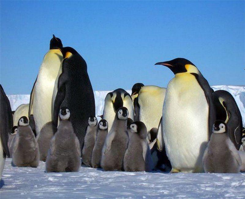 Все про пингвинов картинки слышите крики