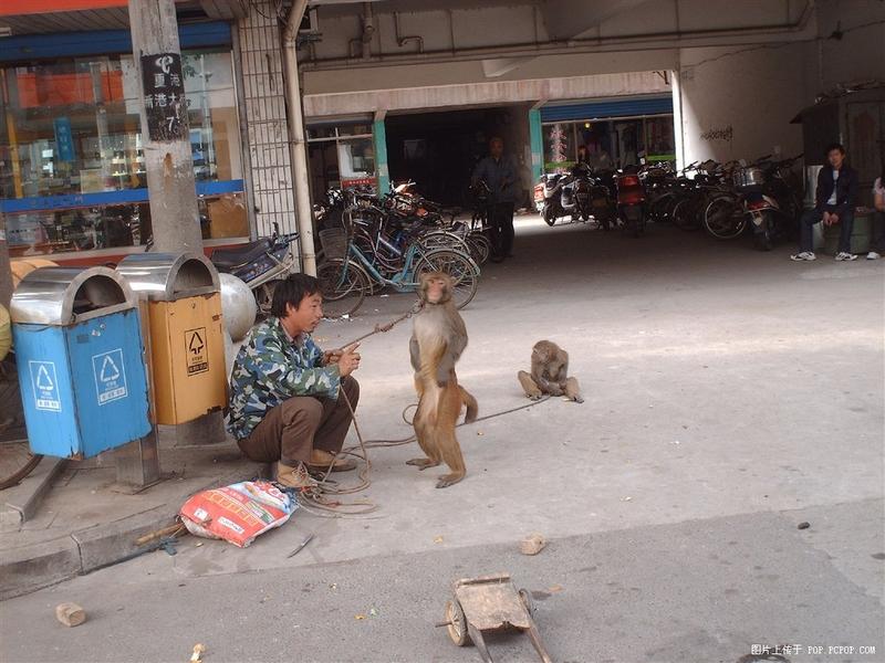 Послушные обезьянки (12 фото)