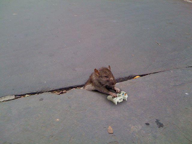 Фотожаба на крысу (23 фото)