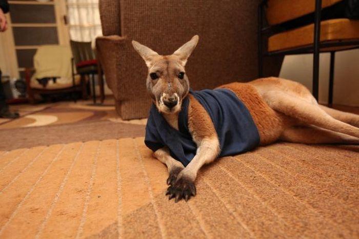 Домашний кенгуру почти что стал человеком (28 фото)