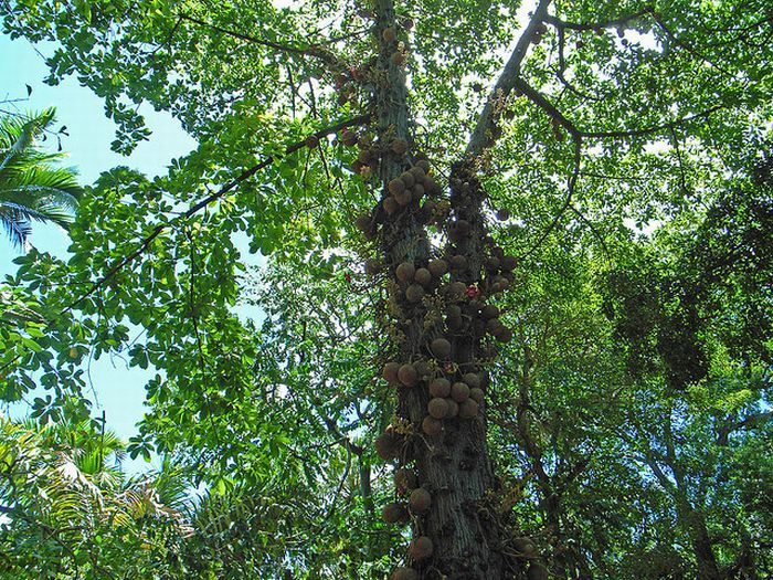 Дерево пушечных ядер (11 фото)