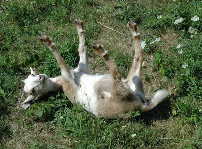 Обморочные козы (6 фото + 4 видео + гифка)