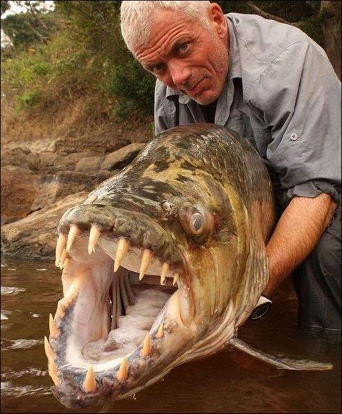 Рыба-монстр в реке Конго (6 фото)