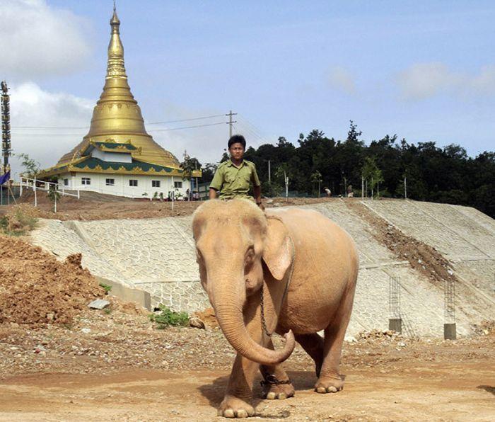 Редкие слоны-альбиносы (7 фото)