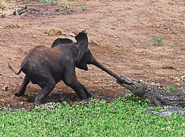 Любопытный слоненок попал в беду (5 фото)