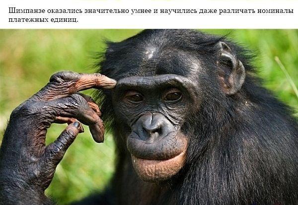 Шимпанзе похожи на людей (7 фото)