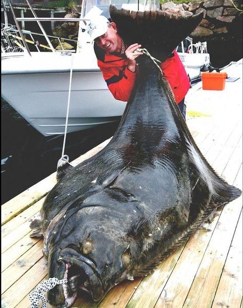 В Норвегии поймали самого большого Атлантического палтуса в мире (3 фото)