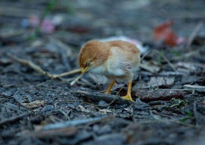 Курица спасла птенца от собаки (4 фото)