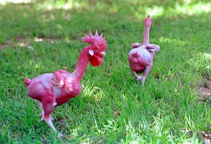 Израильский генетик вывел породу кур без перьев (5 фото)