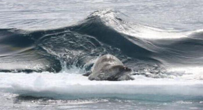 Тюлени объединились для добычи пищи (5 фото)