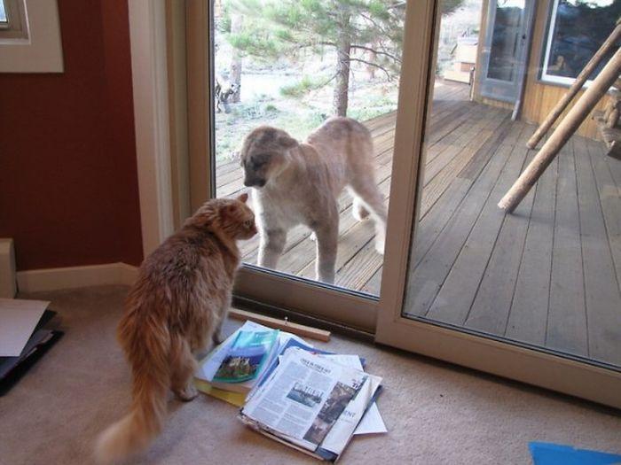 Пума пришла в гости к коту (15 фото)