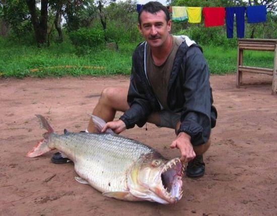 Тигровая рыба Голиаф (8 фото)