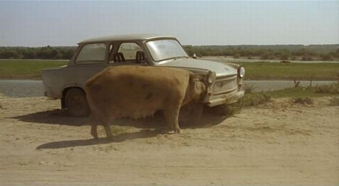 Милая свинка раздела машину (5 фото)