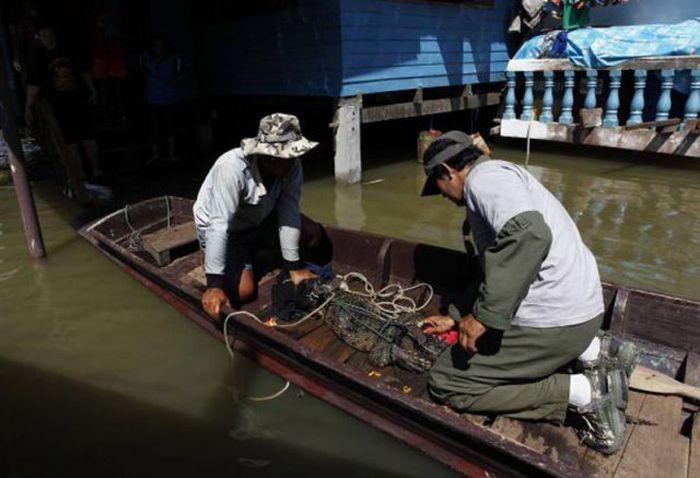 Из-за наводнения в Таиланде с крокодиловой фермы сбежали крокодилы (24 фото)
