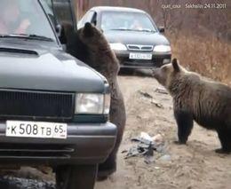 Водители кормят медведей с рук