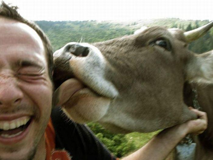 Почему корова лижет