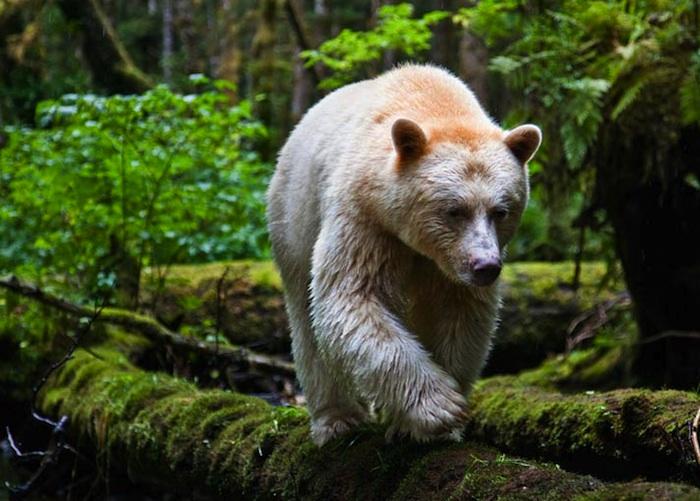 Кермодский медведь (9 фото)