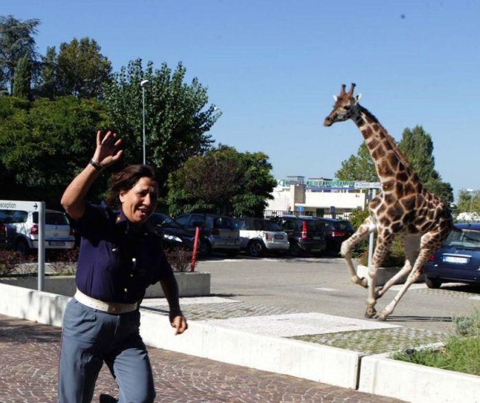 Побег жирафа из зоопарка (13 фото)