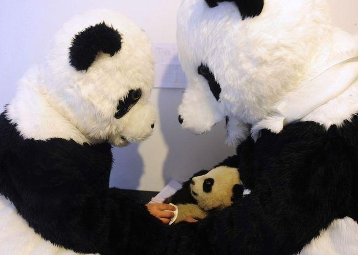 Жизнь детеныша панды (9 фото)