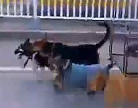 Четыре собачьи силы