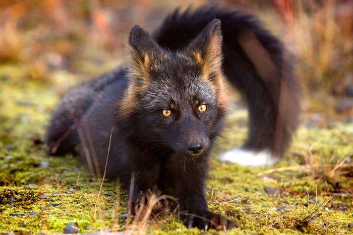 Чёрно-бурая лисица (9 фото)
