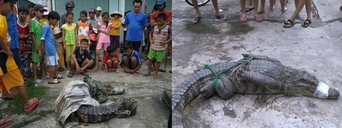 Массовый побег крокодилов (20 фото)