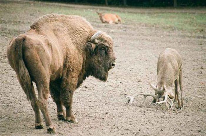 Олень бычит на зубра (5 фото)