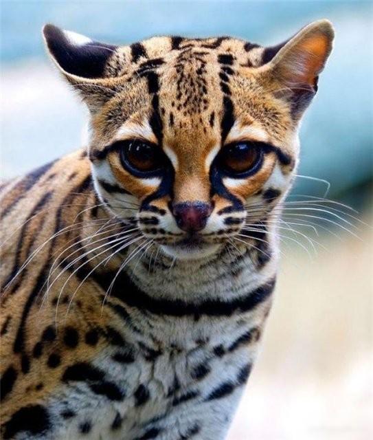 Большие выразительные глаза маргая прекрасно гармонируют с красочным шерстянным нарядом этой кошки.