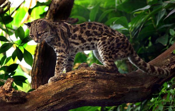 Беременность длится 80 дней. Самка приносит, как правило, всего одного детёныша, реже двух. Вес новорождённого котёнка равен приблизительно 450-ти г. (иногда меньше). �то больше, чем вес новорожденных домашних котят, хотя сам маргай немного мельче средней домашней кошки.