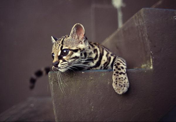 Живет маргай преимущественно в теплых, густых лесах; ни холода, ни редколесья эта темпераментная, стремительная кошка не любит. Порой она забредает и на плантации какао или кофе.