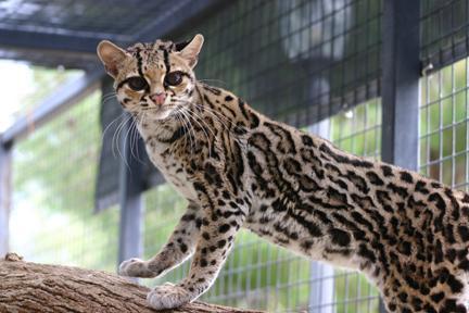 В некоторых районах Южной Америки люди держат маргая вместо домашней кошки.