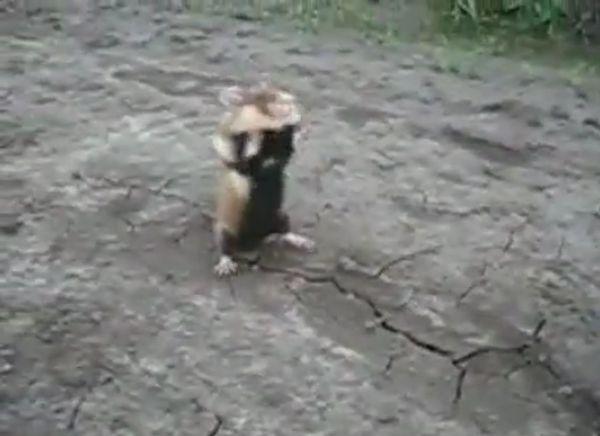 Ужасный хомяк (видео)