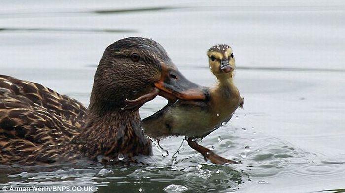 Утка учит утенка плавать (4 фото)