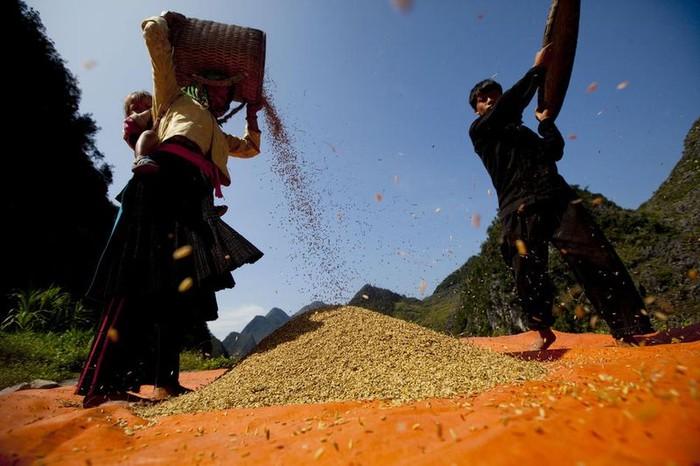 Будущее пшеницы (18 фото)