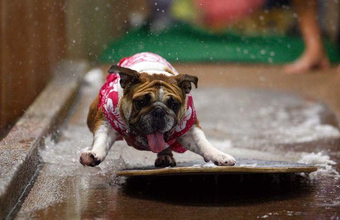 Водные конкурсы для собак (8 фото)