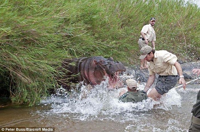Бегемот чуть не съел ветеринара (3 фото)