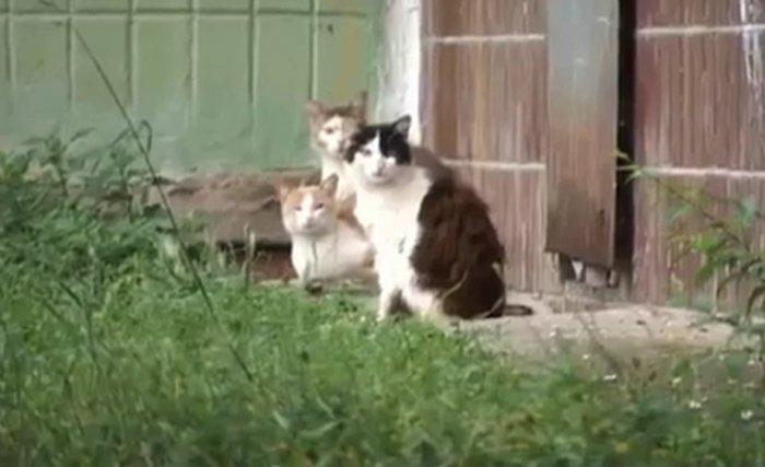 Крыса против стаи котов (видео)