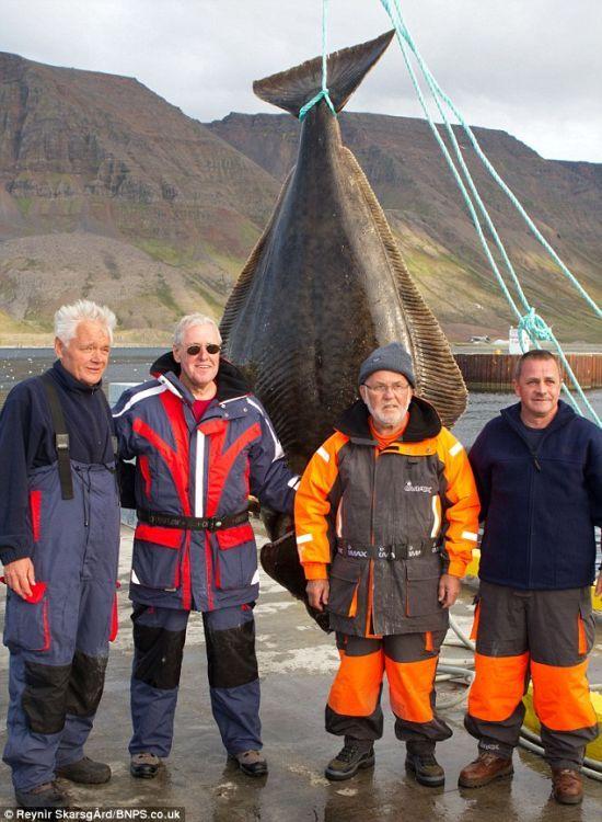 В Исландии рыбак поймал гигантского палтуса весом 220 кг (4 фото)