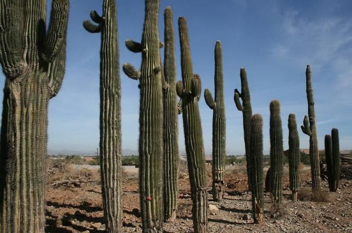 Гигантские кактусы Сагуаро (21 фото)